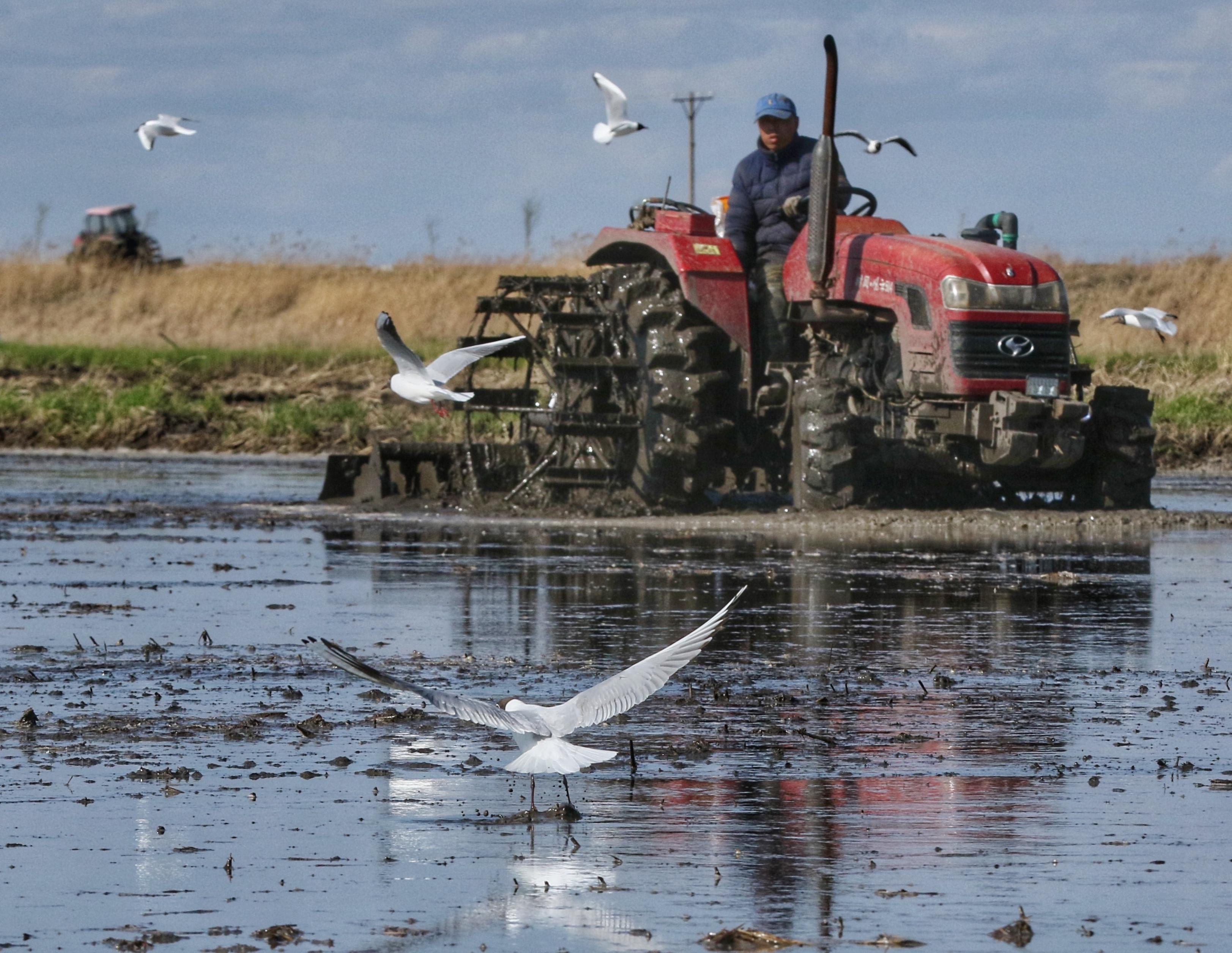 5月5日,肇源县茂兴镇当权村的稻农开始向稻田放水泡田。翻田机械在稻田里翻耕时,一大群红嘴鸥、黑翅长脚鹬等候鸟,跟在农机后面寻找小鱼和蝲蝲蛄等美食。