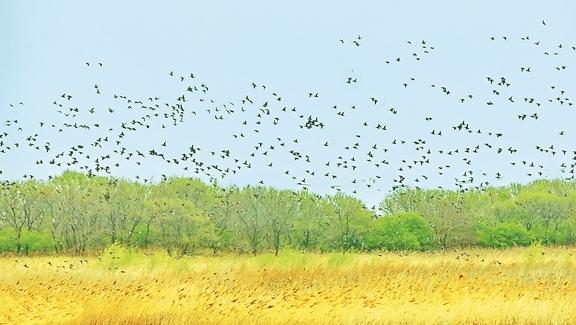 """位于齐齐哈尔市嫩江之畔的""""百鸟湖"""",因良好的自然生态环境,吸引来数千只各类野鸭齐聚这里,捕食栖息。景区工作人员介绍,目前来这里栖息的野鸭包括红头潜鸭、绿翅鸭、斑嘴鸭以及濒危的青头潜鸭等多品种鸭群,数千只大集群出现在鹤城水域实属罕见。"""