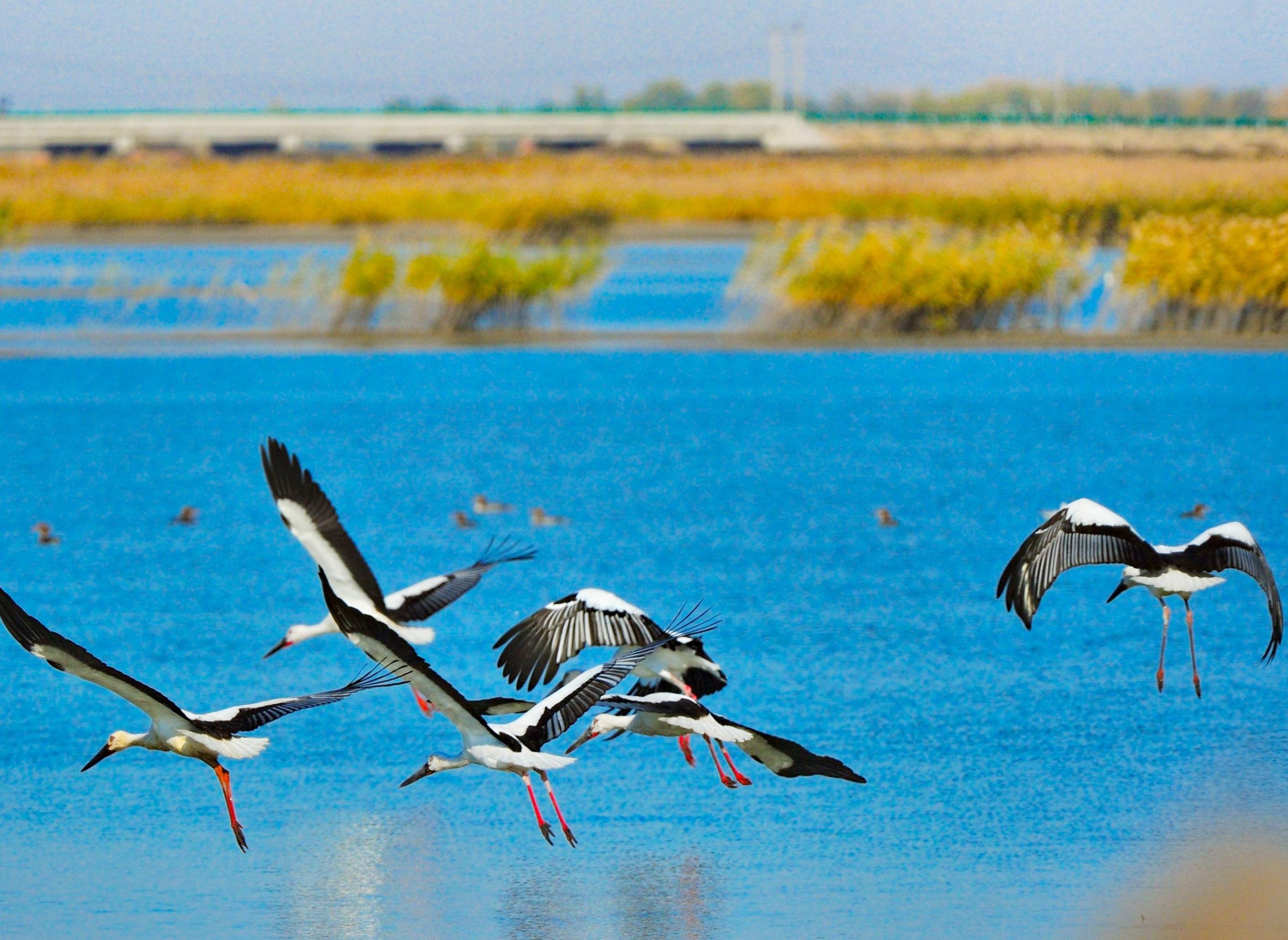 """具有""""百湖之城""""美誉的大庆,更成为各种鸟类的乐园,生态一年比一年好,每年都会有国家一级保护动物东方白鹳来到大庆繁衍生息。"""