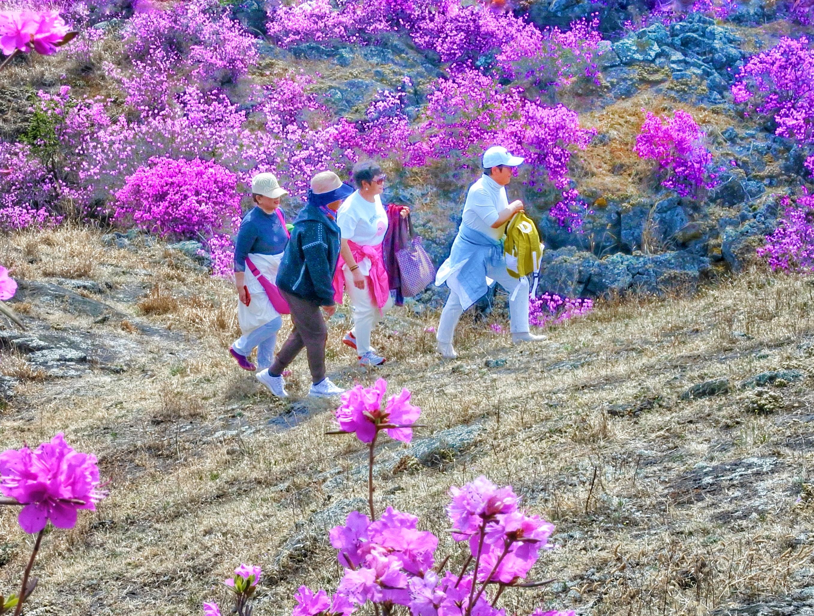 4月26日,牡丹江市镜泊湖世界地质公园,游客在开满达子香的熔岩台地上游览。