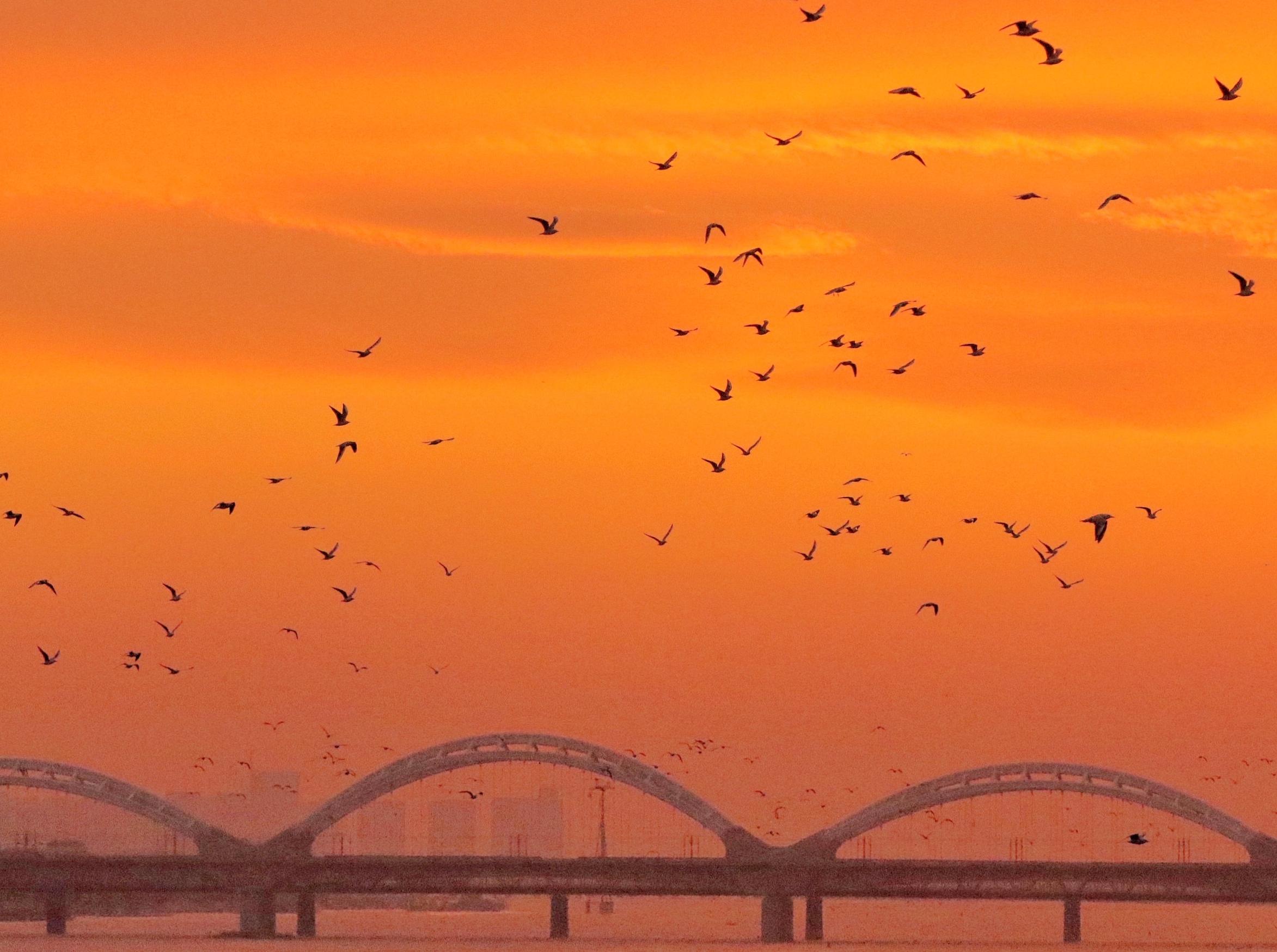 """近日,近万只江鸥聚集在哈尔滨市道外区的松花江上,它们在江面上翻飞觅食,场面壮观。据鸟类专家介绍,在松花江哈尔滨段聚集的""""江鸥""""以红嘴鸥为主。"""