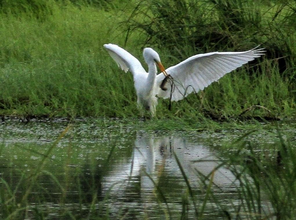 """在黑龙江北大荒农业股份有限公司八五三分公司境内,有""""千鸟乐园""""之称的挠力河国家级湿地保护区坐落在这里。由于近年推行退耕还草和绿色生态农业力度的加大,加之各种行之有效的治理和保护措施,湿地面积、候鸟种群有了很大幅度回升,那些往日难寻的珍惜鸟类目前随处可见,部分地区的生态水平已恢复到建场初期。"""