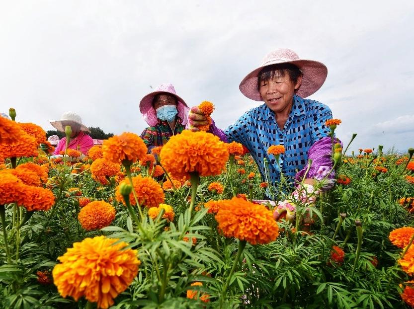 8月5日,牡丹江市东安区兴隆镇东村,人们利用晴好天气采摘万寿菊。