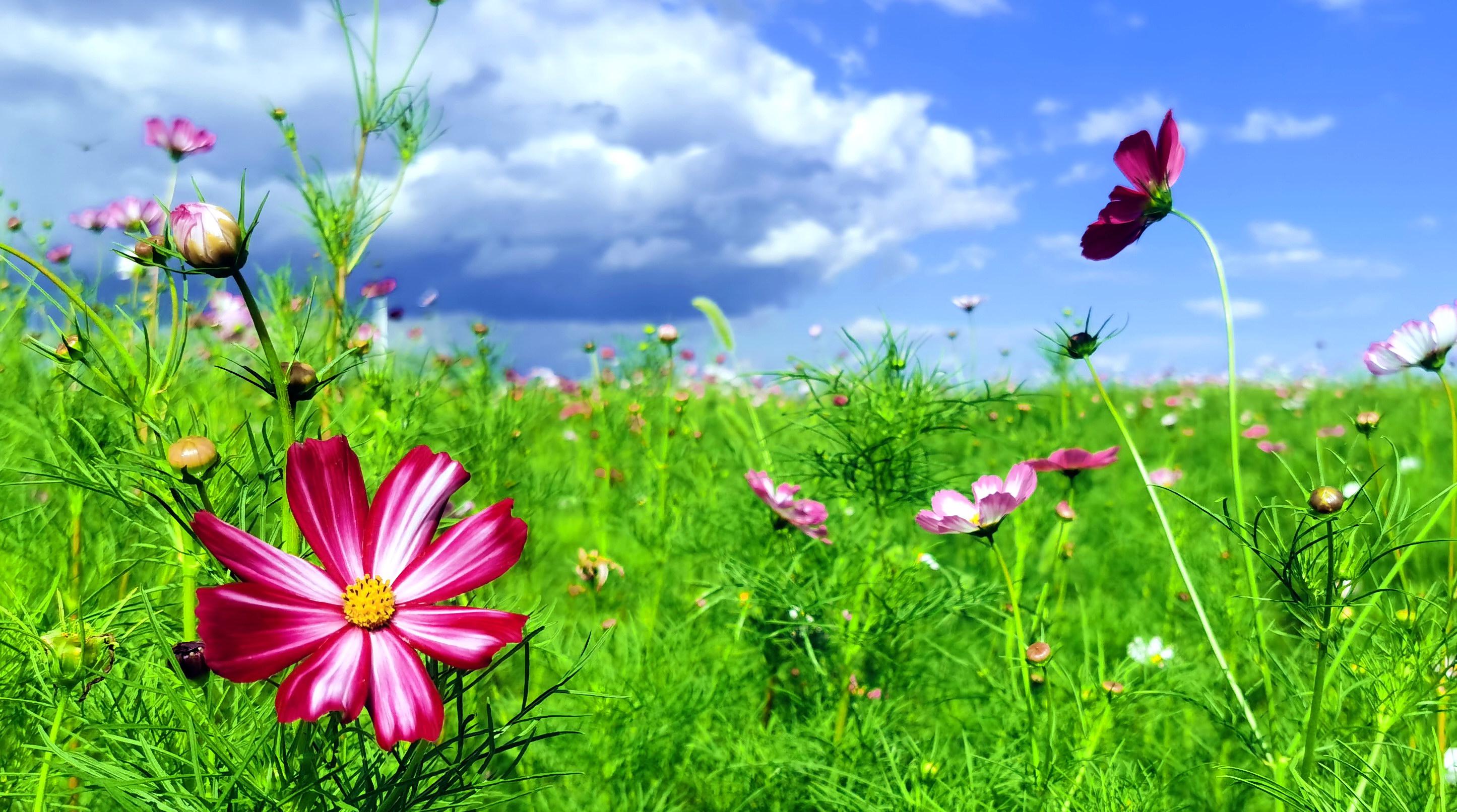 近日,哈尔滨江北大剧院附近滨水大道和松花江之间,一大片花海竞相盛开,白色、粉色、红色、蓝色的格桑花相互簇拥,美不胜收。